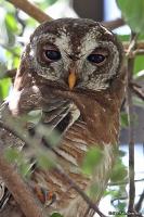 Strix woodfordii; African wood-[Woodford's] owl; Afrikansk skogsuggla