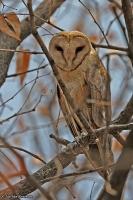 Tyto alba; Western barn-owl; Tornuggla