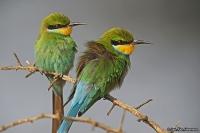 Merops hirundineus; Swallow-tailed bee-eater; Svalstjärtad biätare