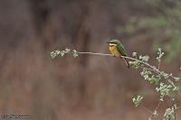 Merops pusillus; Little bee-eater; Dvärgbiätare