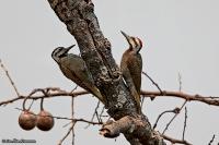 Dendropicos namaquus; Bearded woodpecker; Namaquaspett