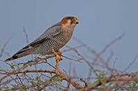Falco chiquera; Red-necked falcon; Rödhuvad falk