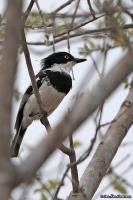 Batis molitor; Chin-spot [White-flanked] [flycatcher] batis; Strupfläcksbatis