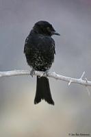 Dicrurus adsimilis; Fork-tailed drongo; Klykstjärtad drongo