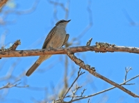 Griseotyrannus aurantioatrocristatus; Crowned slaty flycatcher; Svartkronad tyrann