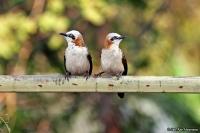 Turdoides gymnogenys; Bare-cheeked babbler; Nakenkindad skriktrast