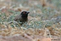 Pycnonotus nigricans; African red-eyed [black-fronted] bulbul; Rödflikig bulbyl