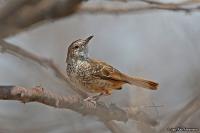 Calamonastes fasciolatus; [Southern] Barred wren-warbler; Kalaharigärdsmygssångare