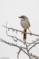 Malcorus pectoralis; Rufous-eared warbler; Rostmaskad-sångare