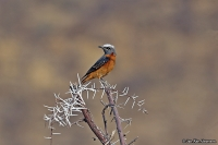 Monticola brevipes; Short-toed rock thrush; Vitpannad stentrast