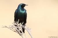 Lamprotornis australis; Burchell's starling; Större glansstare