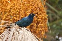 Lamprotornis nitens; Cape [glossy] starling; Grönglansstare