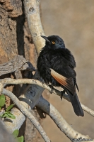 Onychognathus nabouroup; Pale-winged starling; Blekvingad glansstare