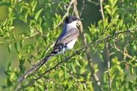 Tyrannus savana; Fork-tailed flycatcher; Gaffelstjärtstyrann