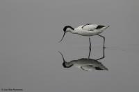 Recurvirostra avosetta; Pied avocet; Skärfläcka