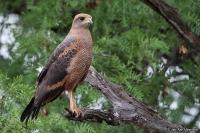 Buteogallus [Heterospizias] meridionalis; Savanna hawk; Savannvråk