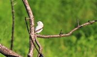 Xolmis irupero; White monjita; Vit monjita
