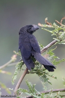 Crotophaga ani; Smooth-billed ani;  Slätnäbbad ani