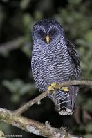 Strix sp. nov.; San Isidro owl; San Isidro-uggla (Svartbandad uggla)