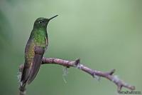 Boissonneaua flavescens; Buff-tailed coronet; Ockrastjärtad kolibri