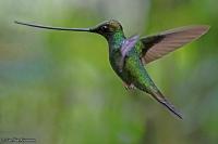 Ensifera ensifera; Sword-billed hummingbird; Svärdnäbb