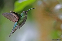Lafresnaya lafresnayi; Mountain velvetbreast; Sammetsbröstad kolibri