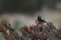 Patagona gigas; Giant hummingbird; Jättekolibri