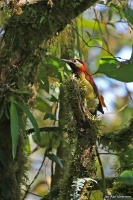 Colaptes rivolii, Crimson-mantled woodpecker; Karmosinryggig hackspett