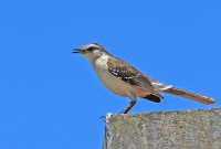 Mimus saturninus; Chalk-browed mockingbird; Camposhärmtrast