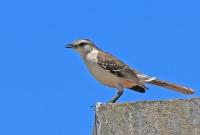 Mimus saturninus; Chalk-browed mockingbird; Camposhärmtrast