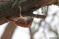 Lepidocolaptes angustirostris; Narrow-billed woodcreeper; Smalnäbbad trädklättrare