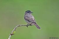 Griseotyrannus aurantioatrocristatus; Crowned slaty-flycatcher; Svartkronad tyrann