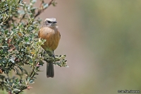 Ochthoeca fumicolor; Brown-backed chat-tyrant; Brunryggig bergtyrann