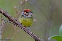 Poecilofriccus ruficeps; Rufous-crowned flycatcher; Rödkronad todityrann