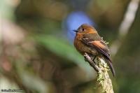 Pyrrhomyias cinnamomeus; Cinnamon flycatcher; Kaneltyrann