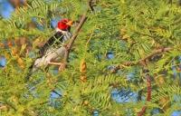 Paroaria capitata; Yellow-billed cardinal; Gulnäbbad kardinaltangara