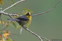 Atlapetes pallidinucha; Pale-naped brushfinch; Ljusnackad snårsparv