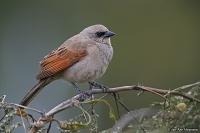 Agelaioides badius; Grayish baywing; Grå brunvingetrupial