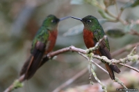 Boissonneaua matthewsii; Chestnut-breasted coronet; Kastanjebröstad kolibri