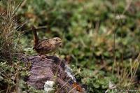 Cistothorus platensis; Grass [Páramo] wren; Gräsgärdsmyg