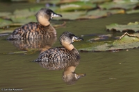 Thalassornis leuconotus; White-backed duck; Vitryggig and