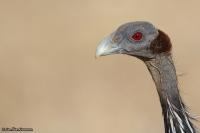 Acryllium vulturinum; Vulturine guineafowl; Gampärlhöna