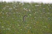 Ardeola ralloides; Squacco heron; Rallhäger