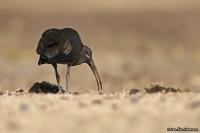Bostrychia hagedash; Hadada ibis; Hadadaibis