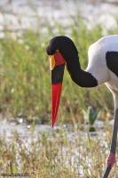 Ephippiorhynchus senegalensis; Saddle-billed stork; Sadelnäbbsstork