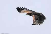 Aquila rapax; Tawny eagle; Savannörn