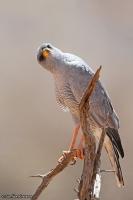 Melierax poliopterus; Eastern [Pale] [Somali] chanting goshawk; Östlig sånghök