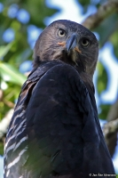 Stephanoaetus coronatus; Crowned eagle; Kronörn
