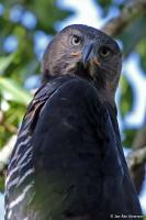 Stephanoaetus coronatus; Crowned eagle; Kronörn