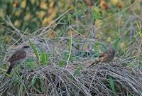 Agelaioides badius; Grayish baywing; Brunvingad kostare